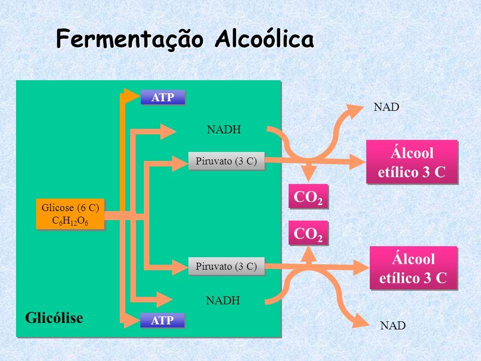 Glicólise Fermentação Alcoólica Glicose (6 C) C 6 H 12 O 6 ATP Piruvato (3 C) NADH CO 2 Álcool etílico 3 C NAD
