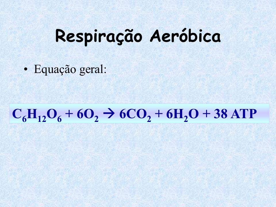 Equação geral: Respiração Aeróbica C 6 H 12 O 6 + 6O 2 6CO 2 + 6H 2 O + 38 ATP