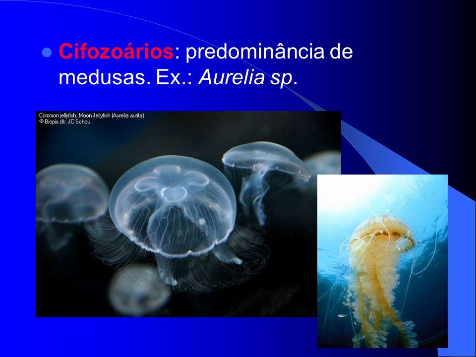 ESTRUTURA DA MEDUSA As medusas são formas planctônicas com tentáculos; Porção superior do corpo – umbrela; Do lado côncavo projeta-se o manúbrio – boca; Mesogléia – substância gelatinosa; Cnidoblastos presos aos tentáculos.