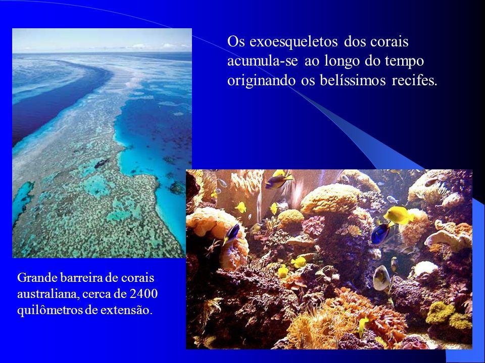 Os exoesqueletos dos corais acumula-se ao longo do tempo originando os belíssimos recifes. Grande barreira de corais australiana, cerca de 2400 quilôm