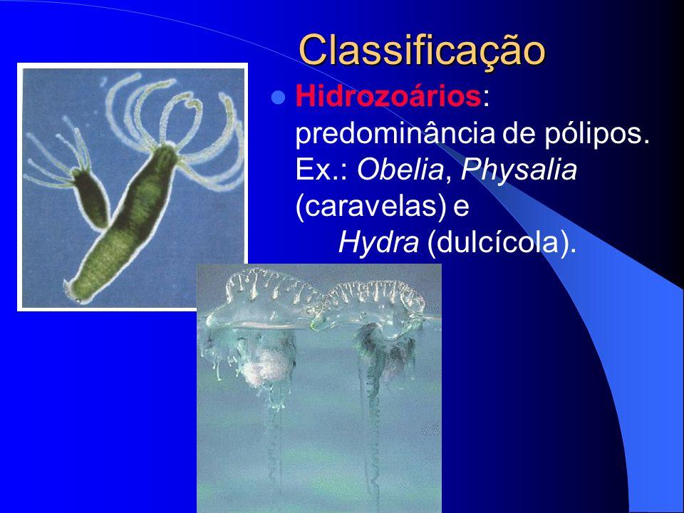 Classificação Hidrozoários: predominância de pólipos. Ex.: Obelia, Physalia (caravelas) e Hydra (dulcícola).