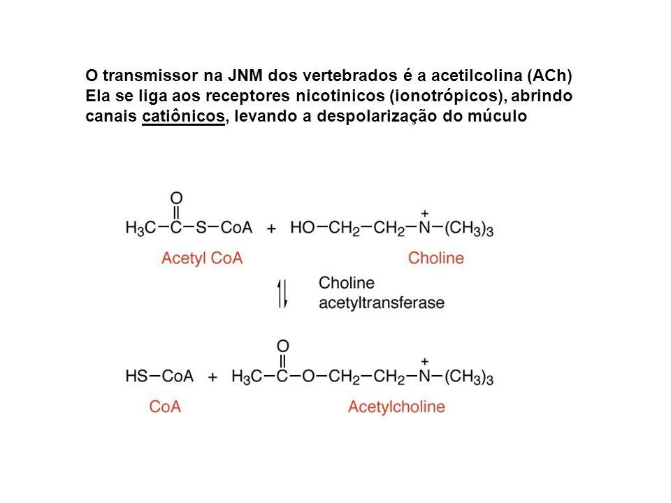 O transmissor na JNM dos vertebrados é a acetilcolina (ACh) Ela se liga aos receptores nicotinicos (ionotrópicos), abrindo canais catiônicos, levando