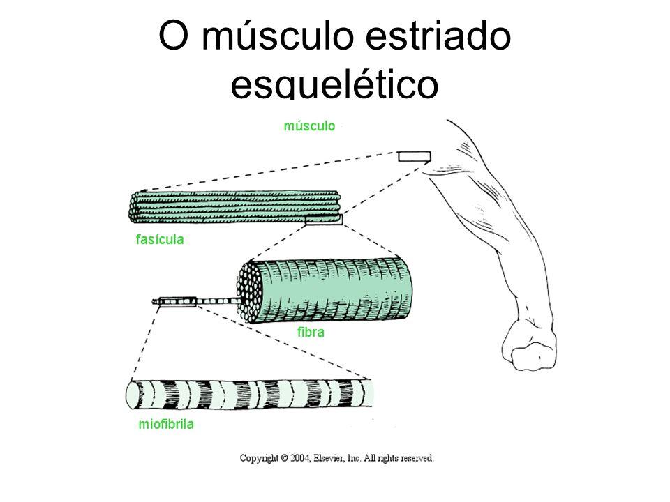 O músculo estriado esquelético