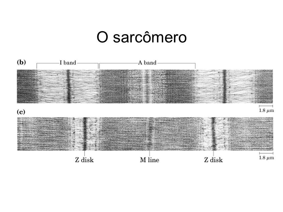 O sarcômero