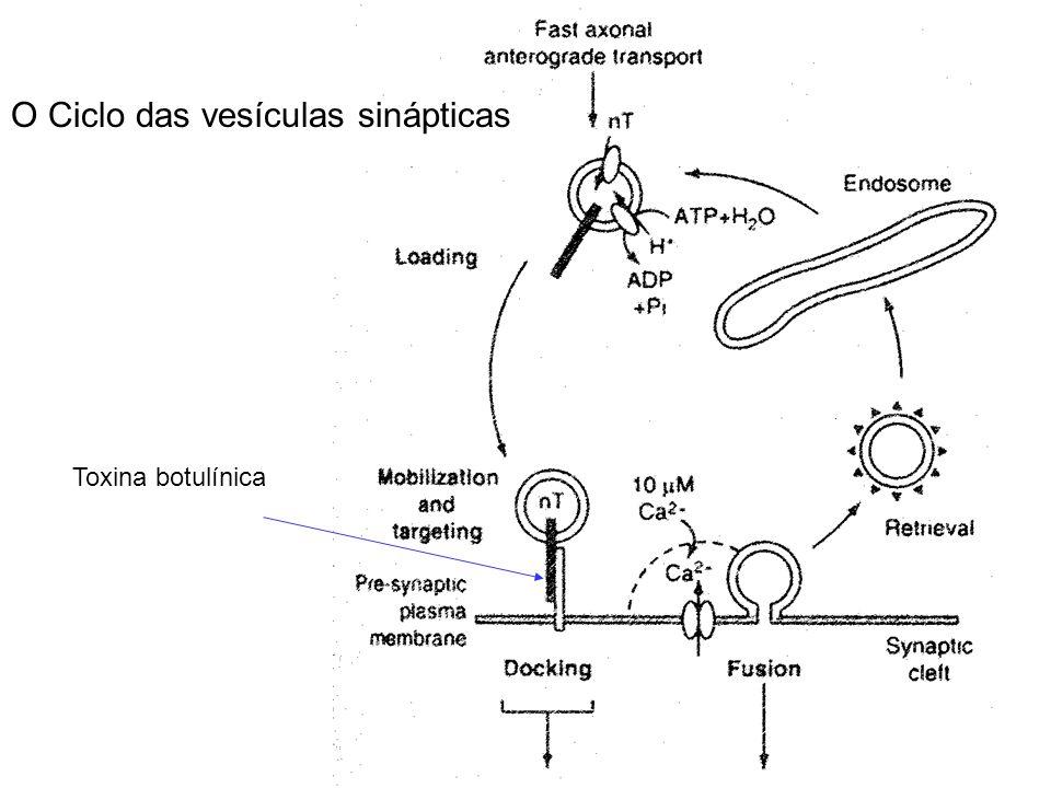 Toxina botulínica O Ciclo das vesículas sinápticas