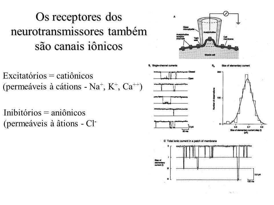 Os receptores dos neurotransmissores também são canais iônicos Excitatórios = catiônicos (permeáveis à cátions - Na +, K +, Ca ++ ) Inibitórios = aniô