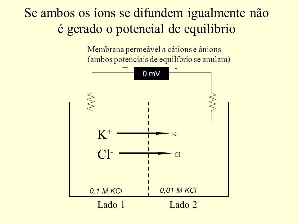 Se ambos os íons se difundem igualmente não é gerado o potencial de equilíbrio 0,1 M KCl 0,01 M KCl K+K+ Cl - K+K+ 0 mV Lado 1Lado 2 +- Membrana perme