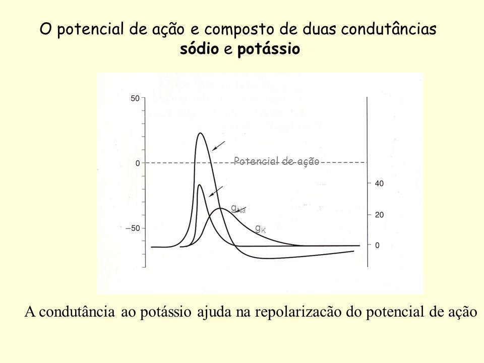 O potencial de ação e composto de duas condutâncias sódio e potássio Potencial de ação g Na gKgK A condutância ao potássio ajuda na repolarizacão do p