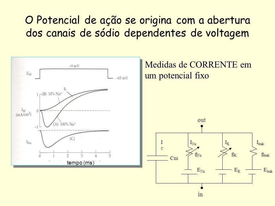O Potencial de ação se origina com a abertura dos canais de sódio dependentes de voltagem tempo (ms) Cm ICIC I Na IKIK I leak g Na gKgK g leak E Na EK