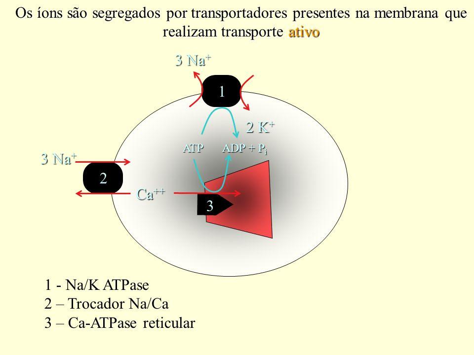 Os íons são segregados por transportadores presentes na membrana que realizam transporte ativo 3 Na + 2 K + ATP ADP + P i 1 3 Na + Ca ++ Ca ++ 2 3 1 -