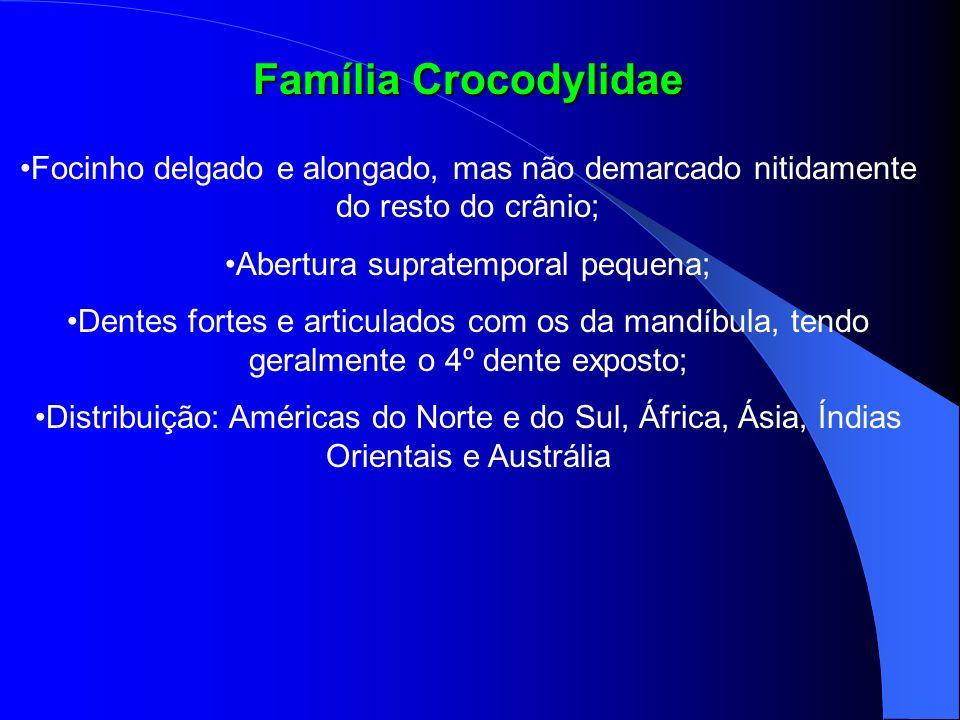 Família Crocodylidae Focinho delgado e alongado, mas não demarcado nitidamente do resto do crânio; Abertura supratemporal pequena; Dentes fortes e art
