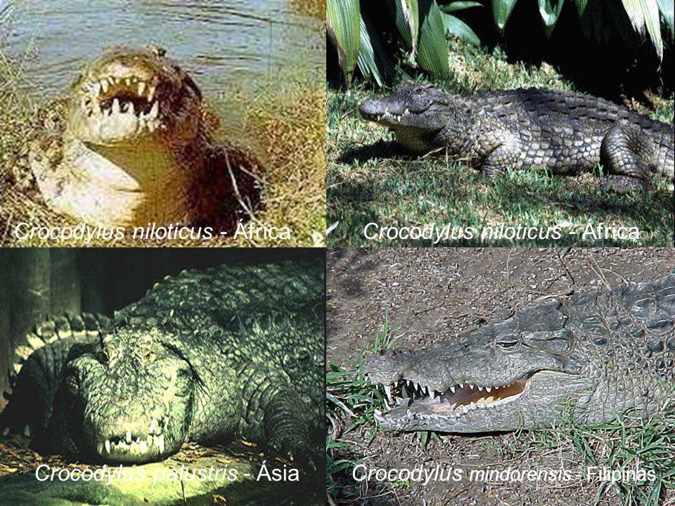 Crocodylus niloticus - África Crocodylus palustris - ÁsiaCrocodylus mindorensis - Filipinas