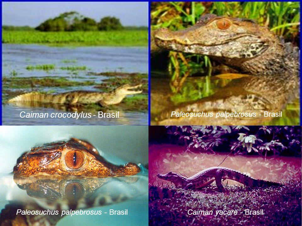 Caiman crocodylus - Brasil Paleosuchus palpebrosus - Brasil Caiman yacare - Brasil