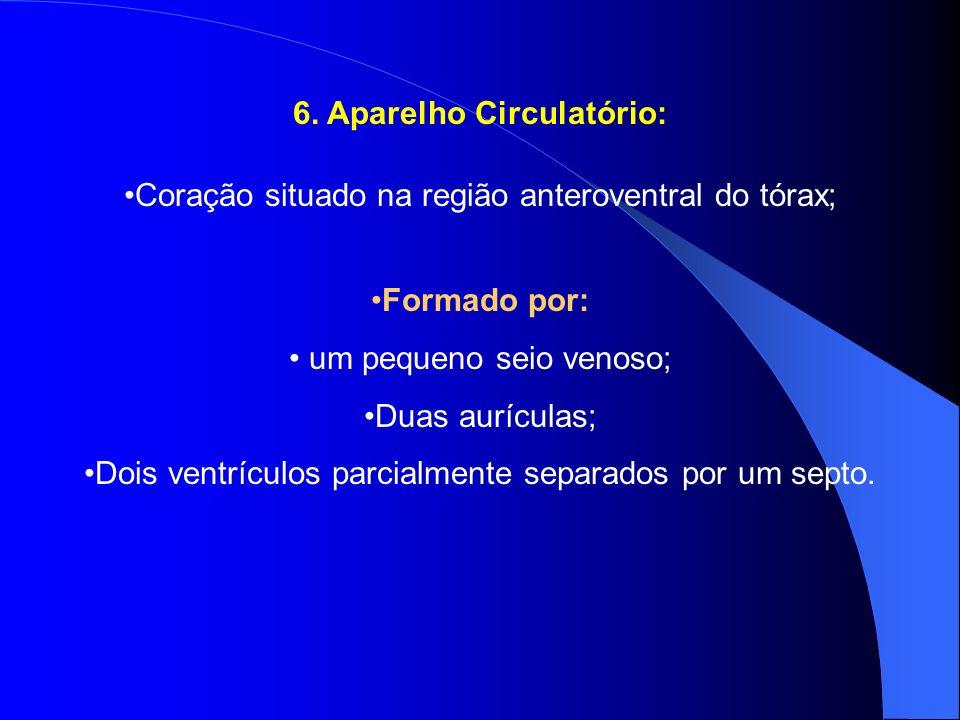 6. Aparelho Circulatório: Coração situado na região anteroventral do tórax; Formado por: um pequeno seio venoso; Duas aurículas; Dois ventrículos parc