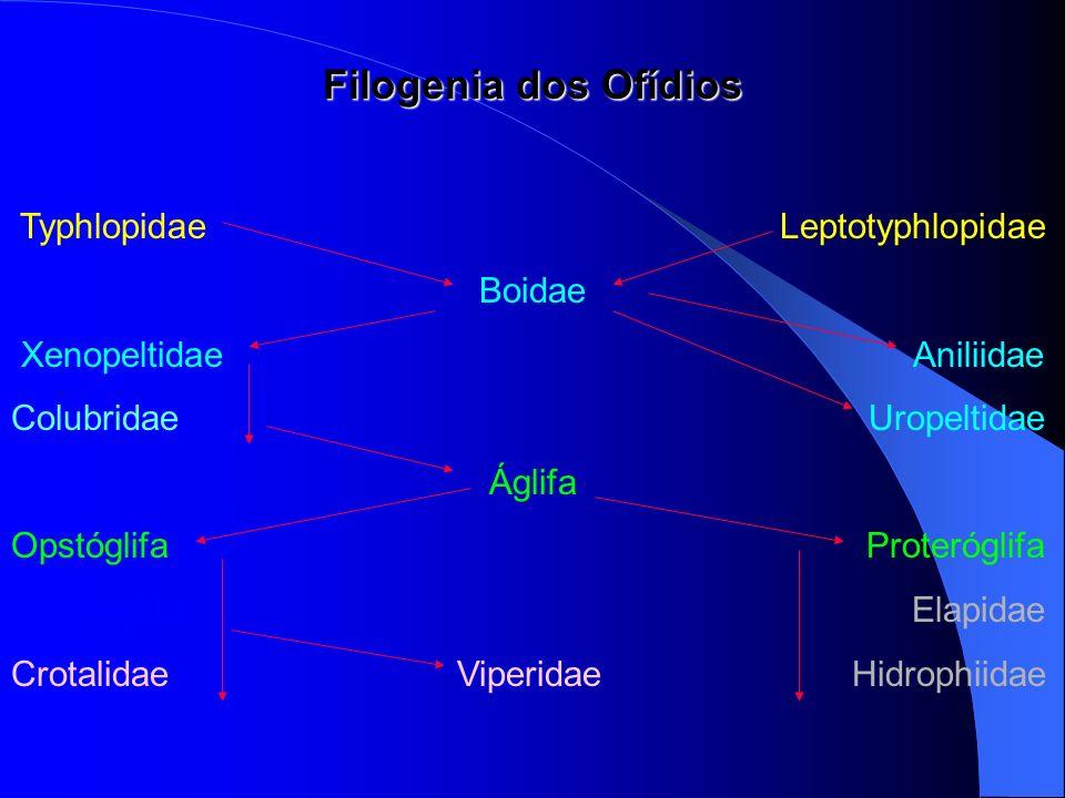 Filogenia dos Ofídios Typhlopidae Leptotyphlopidae Boidae Xenopeltidae Aniliidae Colubridae Uropeltidae Áglifa Opstóglifa Proteróglifa Solenóglifa Ela