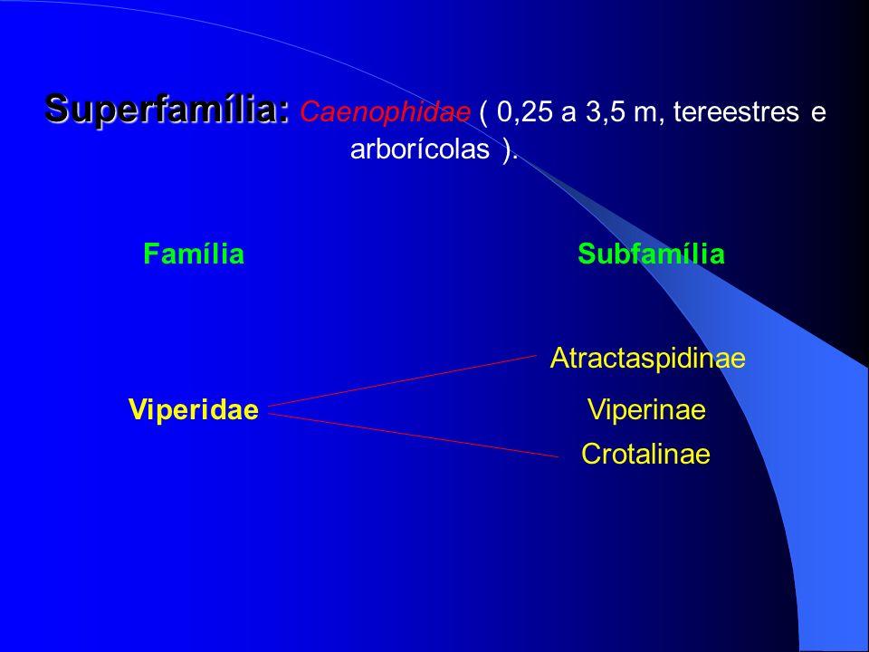 Superfamília: Superfamília: Caenophidae ( 0,25 a 3,5 m, tereestres e arborícolas ). FamíliaSubfamília Atractaspidinae Viperidae Viperinae Crotalinae
