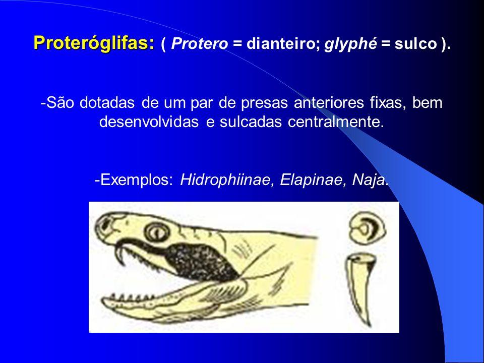Proteróglifas: Proteróglifas: ( Protero = dianteiro; glyphé = sulco ). -São dotadas de um par de presas anteriores fixas, bem desenvolvidas e sulcadas
