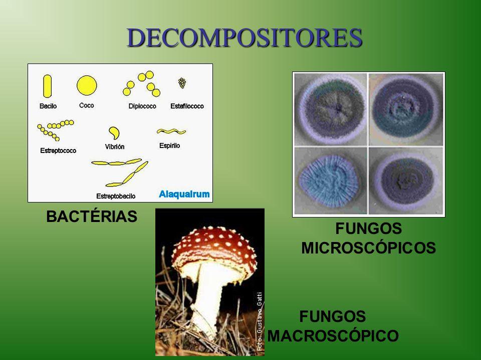 DECOMPOSITORES BACTÉRIAS FUNGOS MICROSCÓPICOS FUNGOS MACROSCÓPICO