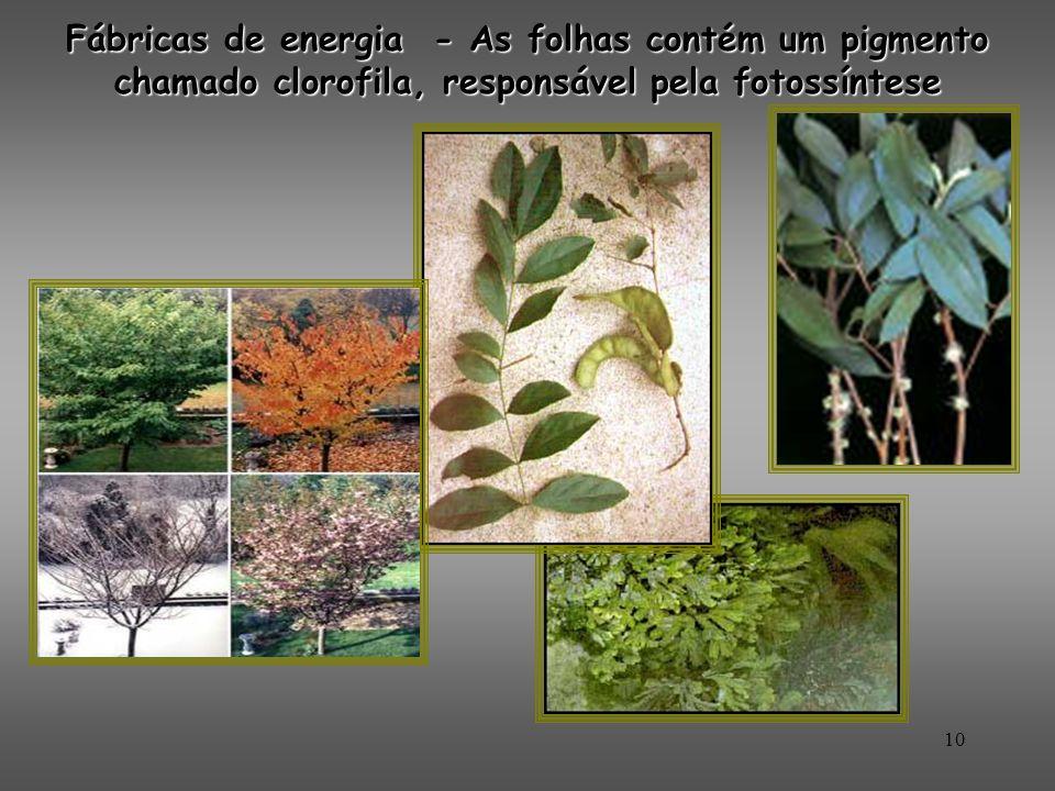 10 Fábricas de energia - As folhas contém um pigmento chamado clorofila, responsável pela fotossíntese