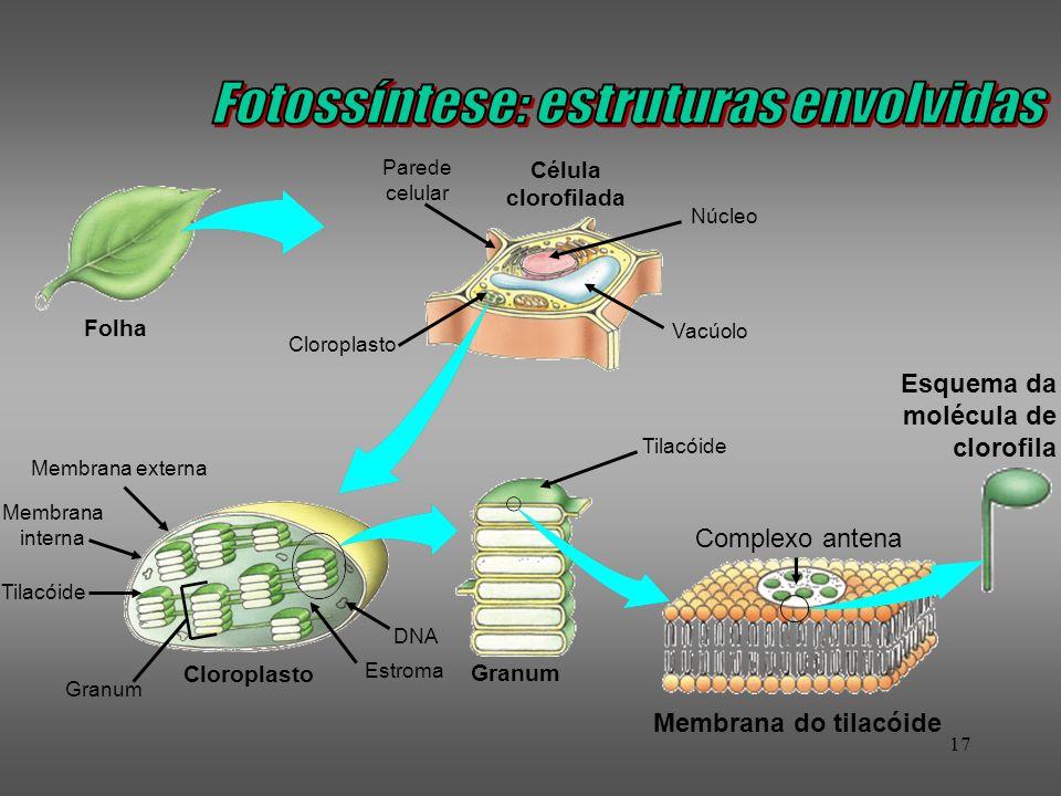 17 Célula clorofilada Membrana do tilacóide Esquema da molécula de clorofila Folha Granum Parede celular Cloroplasto Membrana externa Membrana interna