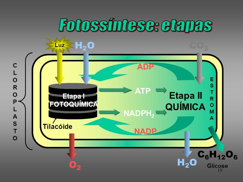 19 CLOROPLASTOCLOROPLASTO Tilacóide Etapa II QUÍMICA Etapa I FOTOQUÍMICA Luz H2OH2O CO 2 ADP NADP H2OH2O C 6 H 12 O 6 ATP NADPH 2 O2O2 ESTROMAESTROMA