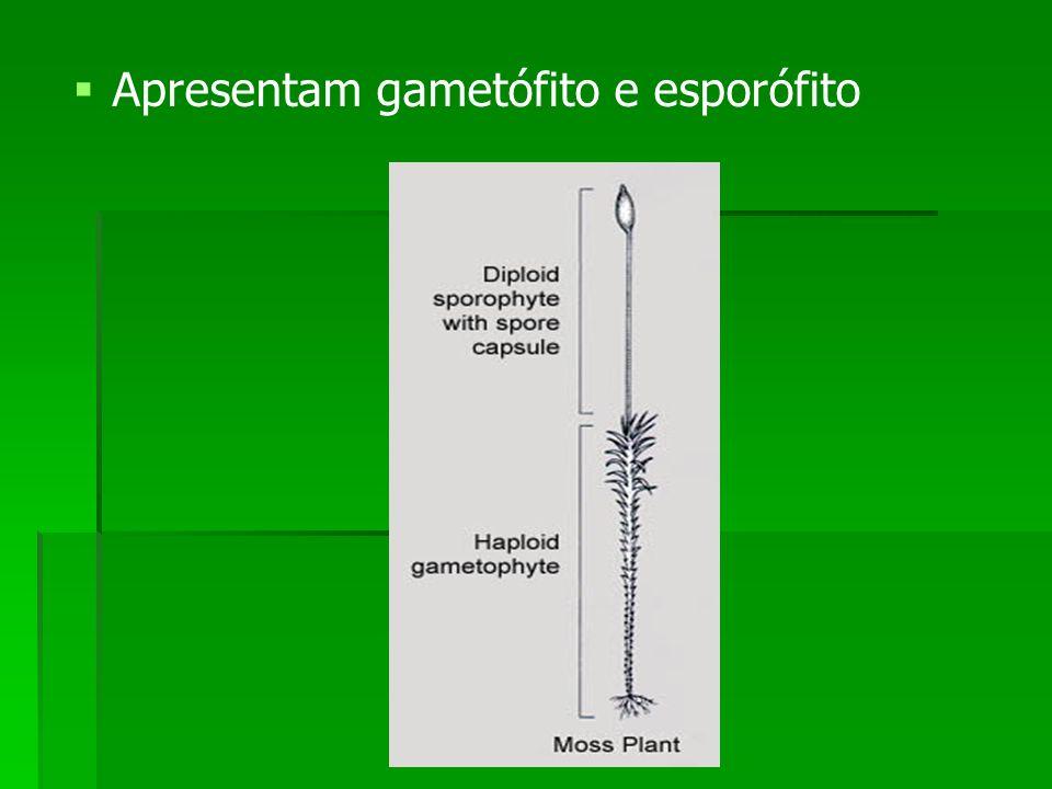 Apresentam gametófito e esporófito
