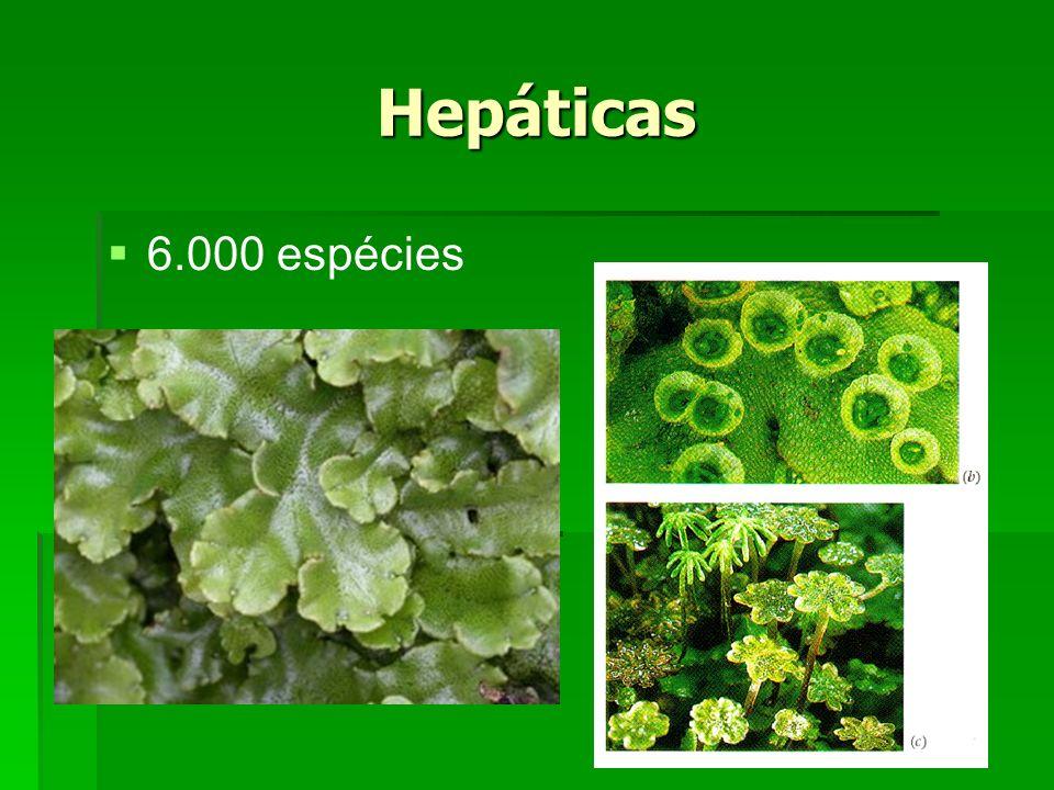 Hepáticas 6.000 espécies