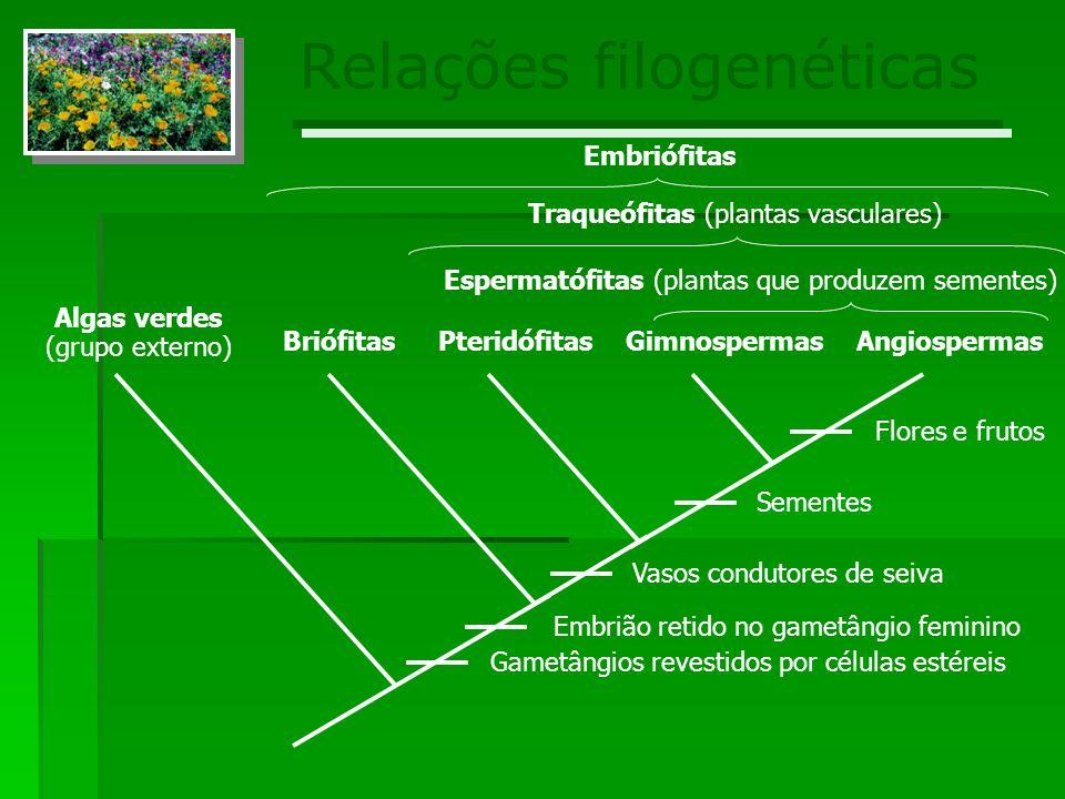 Relações filogenéticas Algas verdes (grupo externo) BriófitasPteridófitasGimnospermasAngiospermas Gametângios revestidos por células estéreis Embrião retido no gametângio feminino Vasos condutores de seiva Sementes Flores e frutos Espermatófitas (plantas que produzem sementes) Traqueófitas (plantas vasculares) Embriófitas