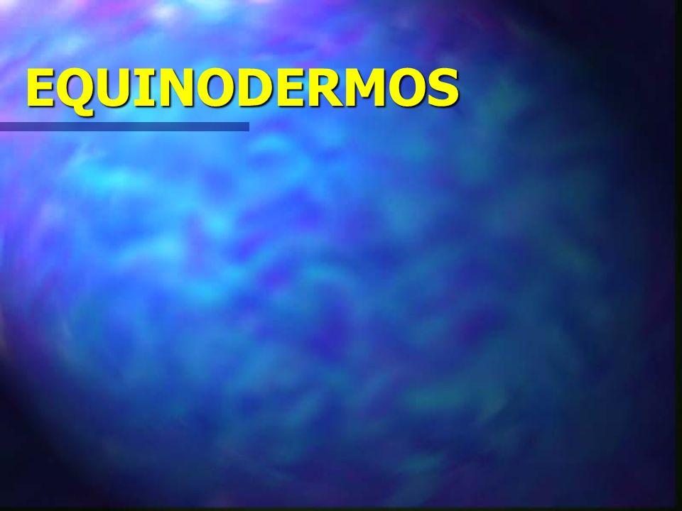 EQUINODERMOS Animais com espinhos na pele; Animais com espinhos na pele; Exclusivamente marinhos; Exclusivamente marinhos; Sistema digestório completo; Sistema digestório completo; Não possuem sistema circulatório e excretor.