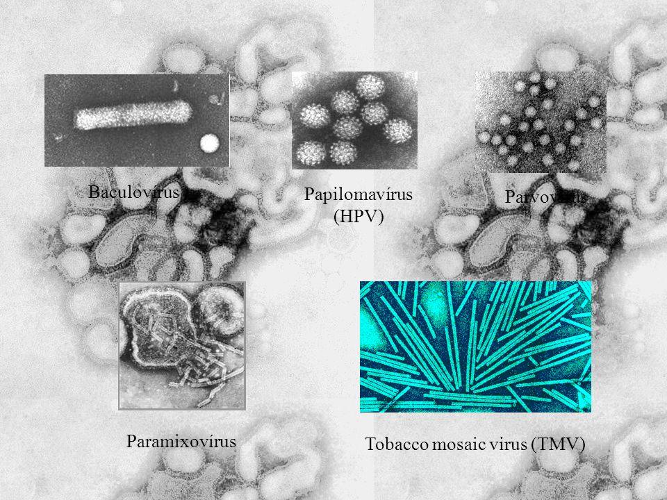 Baculovírus Papilomavírus (HPV) Paramixovírus Parvovírus Tobacco mosaic virus (TMV)