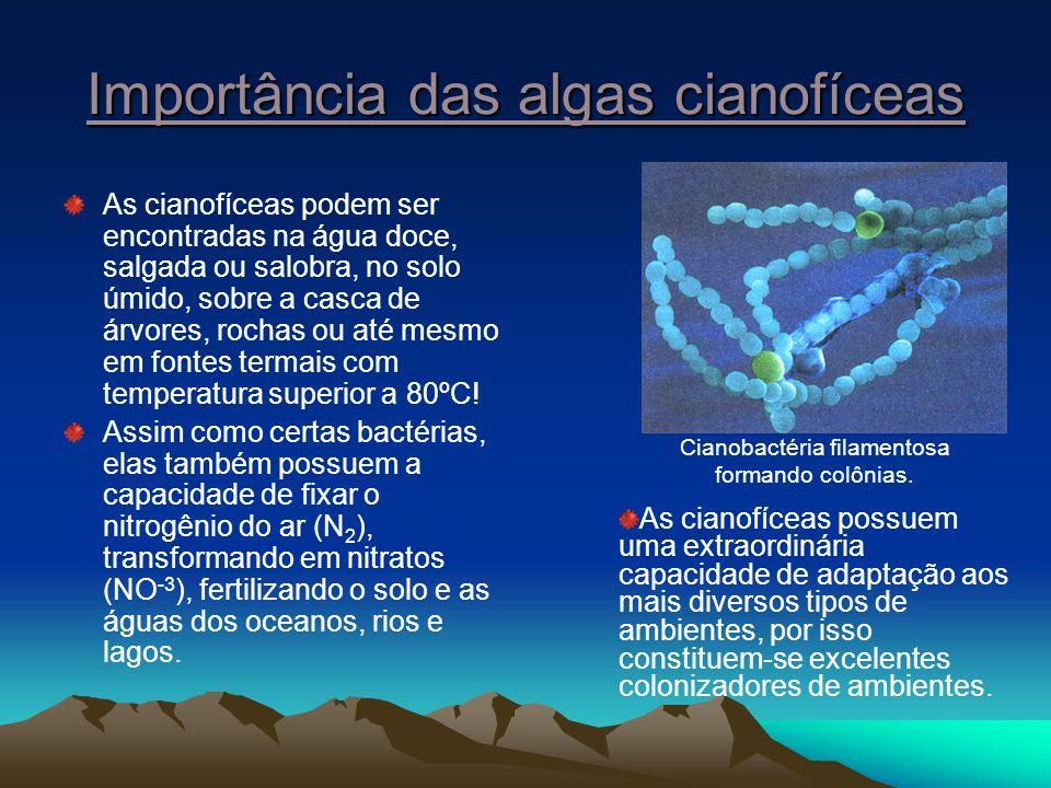 Importância das algas cianofíceas As cianofíceas podem ser encontradas na água doce, salgada ou salobra, no solo úmido, sobre a casca de árvores, rochas ou até mesmo em fontes termais com temperatura superior a 80ºC.