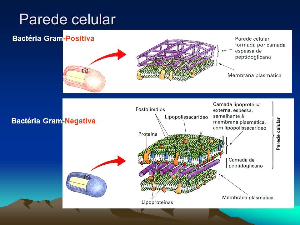 BACTÉRIASCIANOBACTÉRIAS (algas azuis) A maior parte é heterotróficaAutotróficas (fotossíntese) As autotróficas fazem quimiossíntese ou fotorredução.