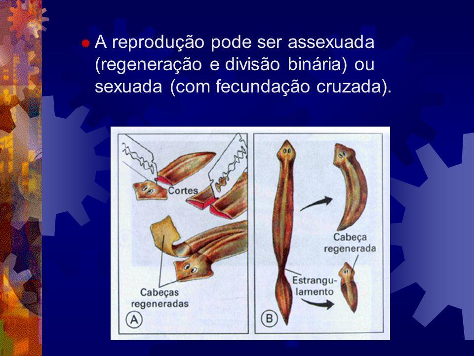 A reprodução pode ser assexuada (regeneração e divisão binária) ou sexuada (com fecundação cruzada).