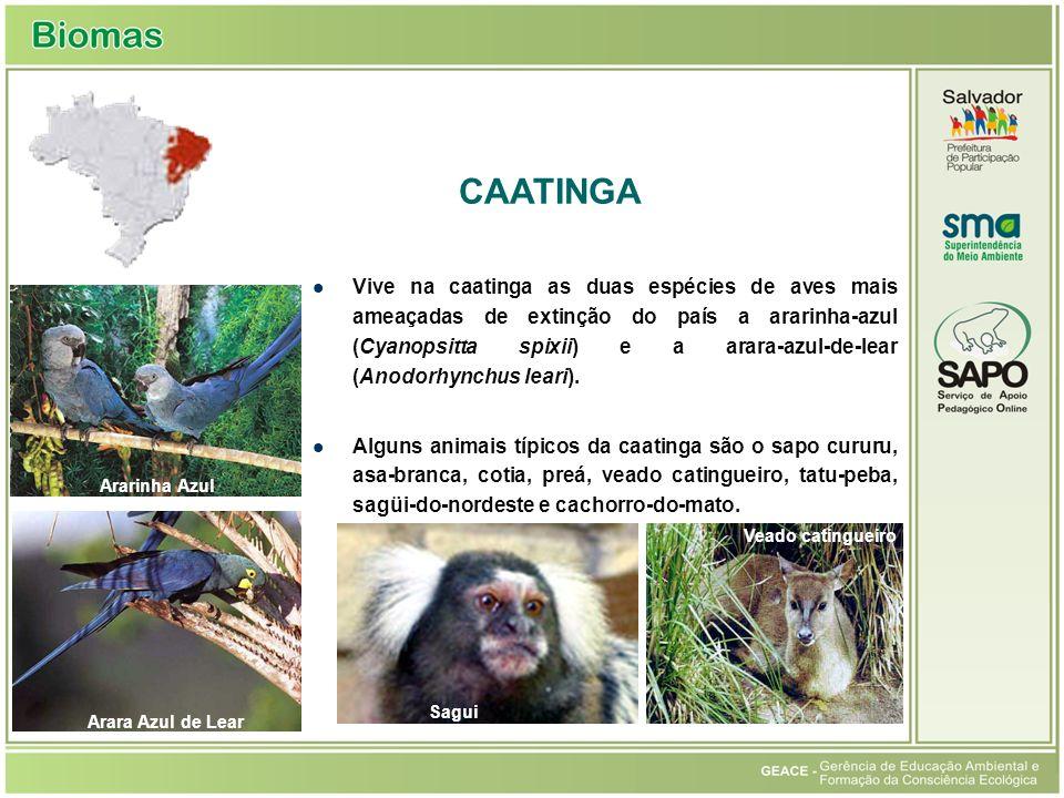 Vive na caatinga as duas espécies de aves mais ameaçadas de extinção do país a ararinha-azul (Cyanopsitta spixii) e a arara-azul-de-lear (Anodorhynchu
