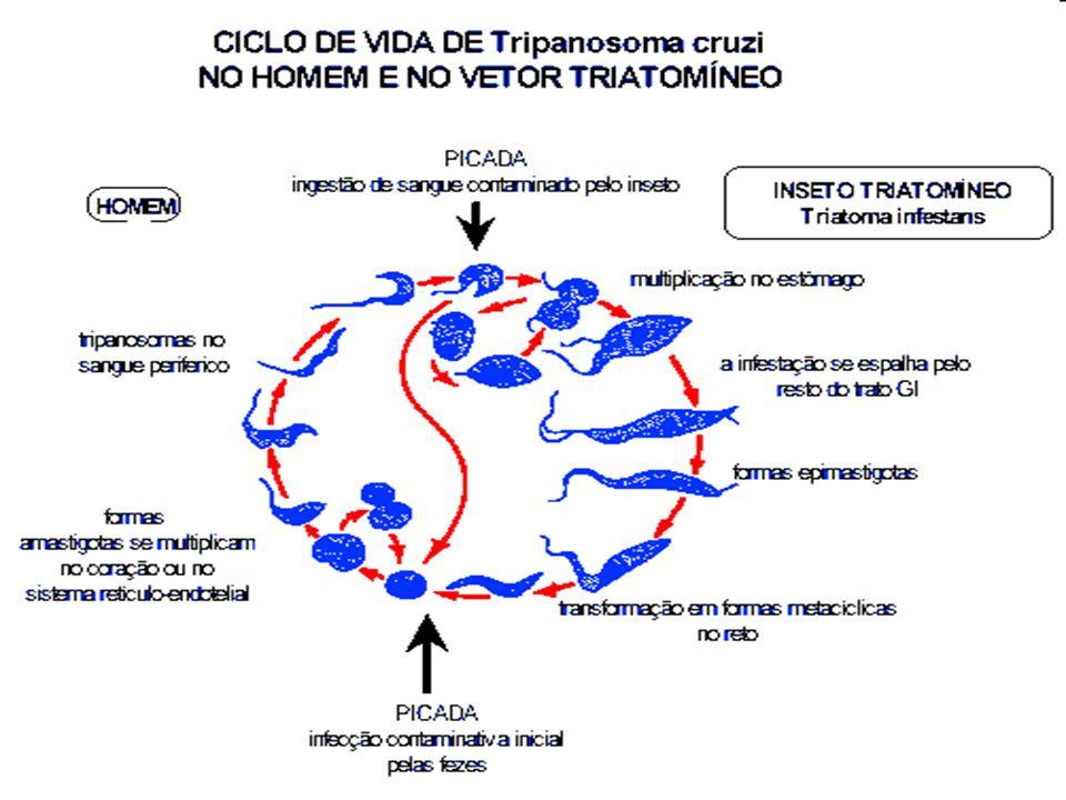 Leishmaniose 1 Cão ou raposa naturalmente infectados; 2 Ao picar o animal ou o homem infectado, o inseto (mosquito-palha) suga, juntamente com o sangue, o parasito (Leishmania chagasi) que causa a doença; 3-4 No intestino do inseto, o parasito se multiplica; 5-6 Ao picar o homem ou outro animal sadio, o flebótomo inocula o parasito; 7 No homem, no cão ou na raposa, o parasito se multiplica principalmente no baço, fígado e medula óssea, provocando a doença.