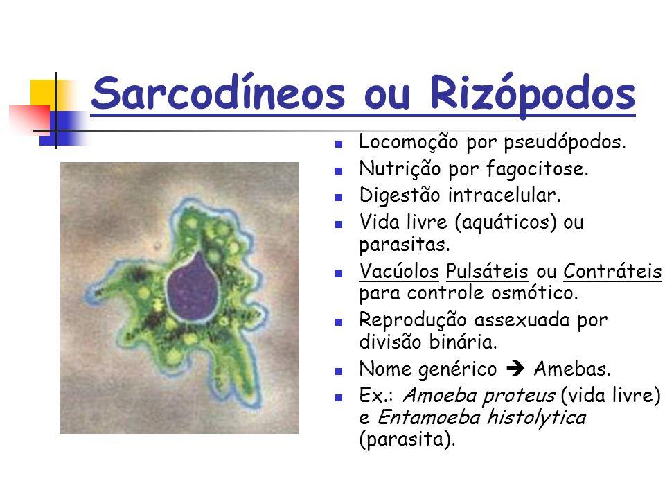 Sarcodíneos ou Rizópodos Locomoção por pseudópodos.