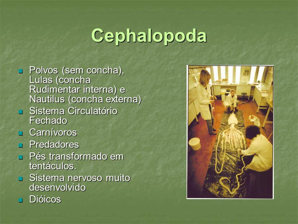 Cephalopoda Polvos (sem concha), Lulas (concha Rudimentar interna) e Nautilus (concha externa) Polvos (sem concha), Lulas (concha Rudimentar interna)