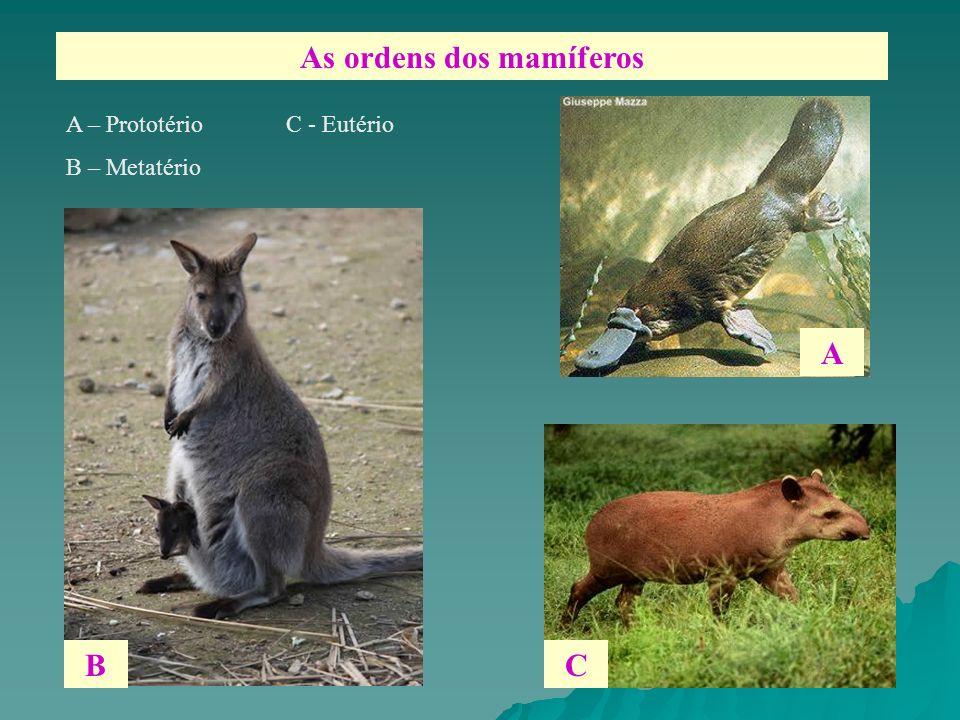 As ordens dos mamíferos A – Prototério C - Eutério B – Metatério B A C