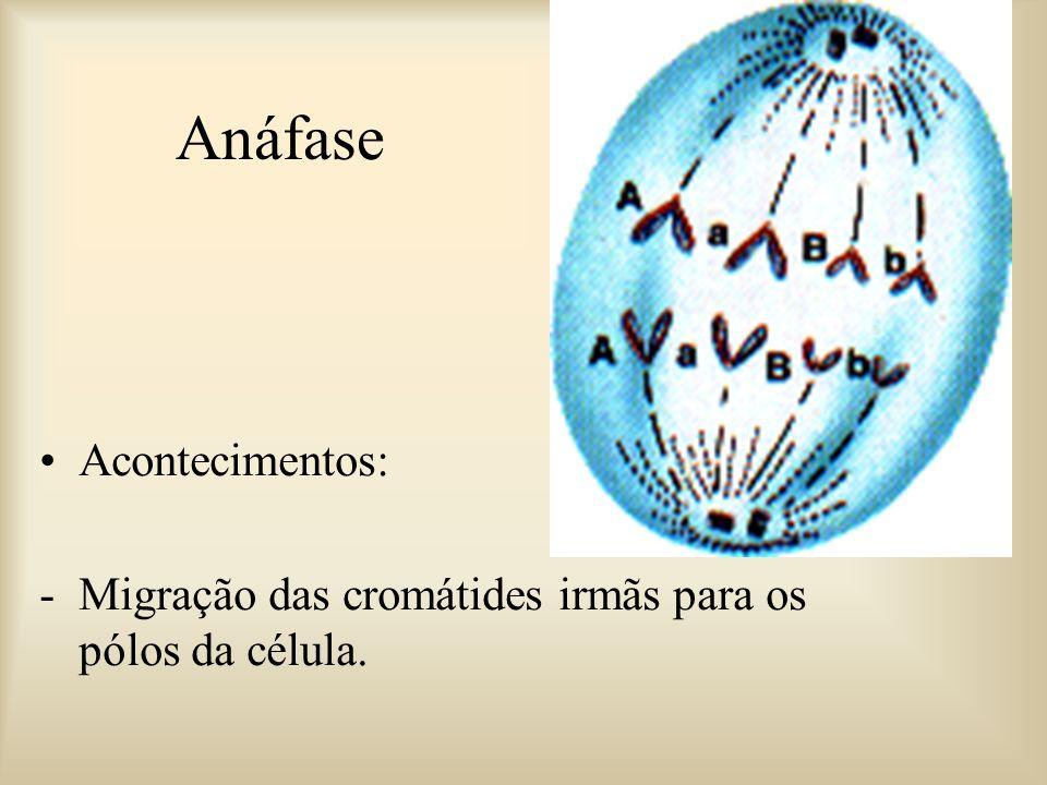 Metáfase Acontecimentos: -Centríolos nos pólos opostos da célula, -Cromátides presas pelas fibras do fuso, -Cromossomos localizados na placa equatoria