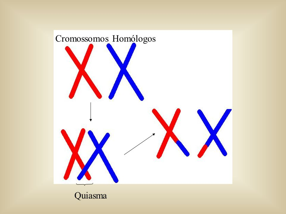 Crossing over Importância: Aumento da variabilidade genética. Troca de seqüências de DNA entre cromossomos homólogos. Também chamado de recombinação o