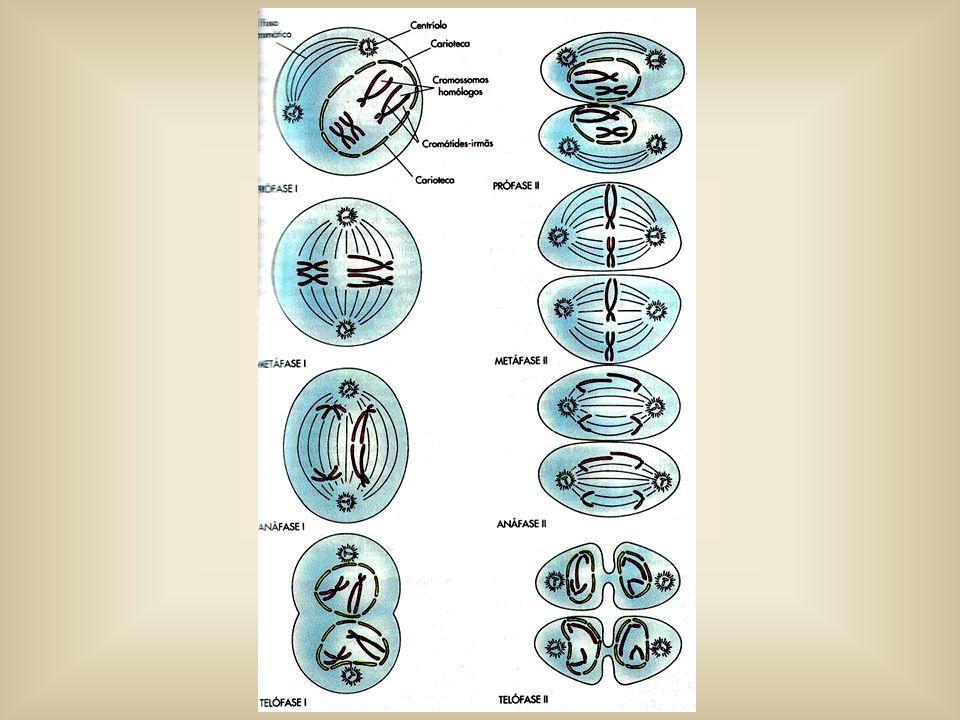Telófase 2 Reaparecimento da carioteca e nucléolo Descondensação dos cromossomos Citocinese – divisão citoplasmática