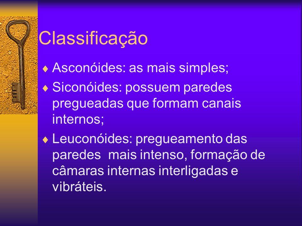 Classificação Asconóides: as mais simples; Siconóides: possuem paredes pregueadas que formam canais internos; Leuconóides: pregueamento das paredes ma