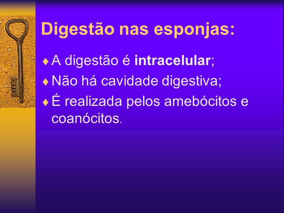 Digestão nas esponjas: A digestão é intracelular; Não há cavidade digestiva; É realizada pelos amebócitos e coanócitos.