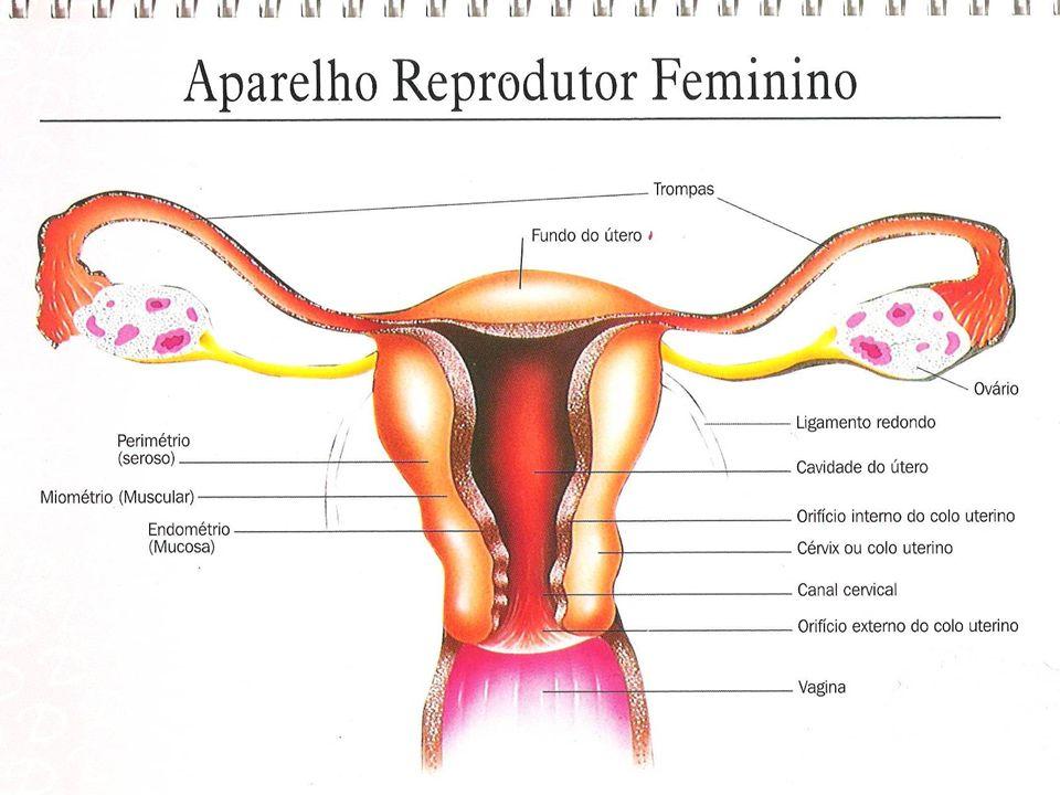 ANATOMIA E FISIOLOGIA A regulação hormonal é controlada por três estruturas HipotálamoEstimula a hipófise pelas gonadotrofinas Hipófise (anterior- FSH, LH e prolactina/Posterior – ocitocina) Controlam a secreção dos hormônios ovarianos Ovários Estrogêno e progesterona Regulação ciclo reprodutor e testosterona Prostagandinas (todas as células) Ovulação, motilidade e contratilidade uterina