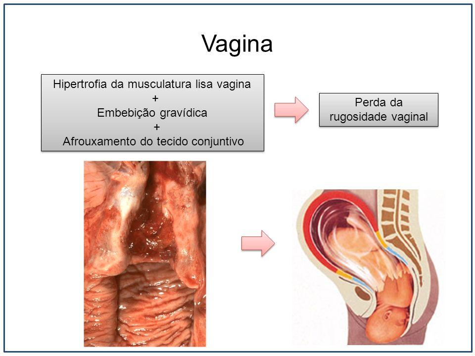 Vagina Hipertrofia da musculatura lisa vagina + Embebição gravídica + Afrouxamento do tecido conjuntivo Hipertrofia da musculatura lisa vagina + Embeb