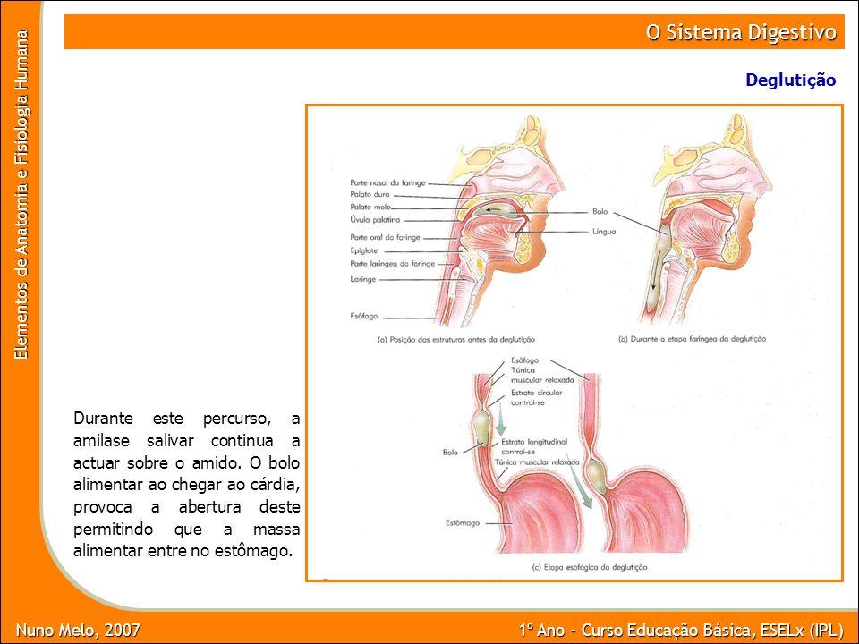 Nuno Melo, 2007 1º Ano - Curso Educação Básica, ESELx (IPL) Elementos de Anatomia e Fisiologia Humana O Sistema Digestivo Deglutição Durante este perc