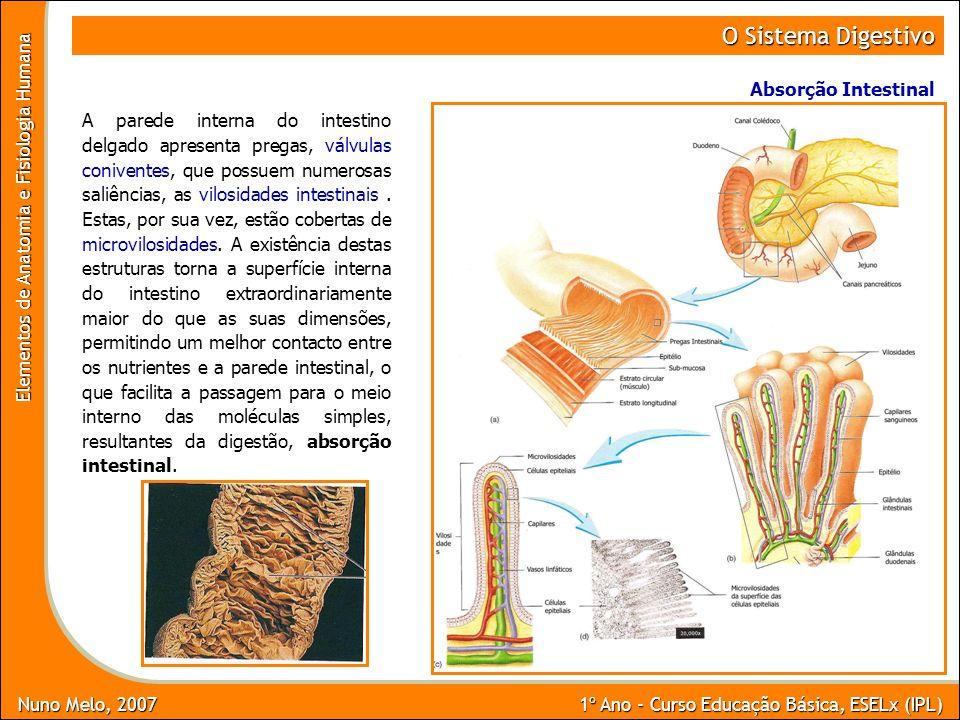 Nuno Melo, 2007 1º Ano - Curso Educação Básica, ESELx (IPL) Elementos de Anatomia e Fisiologia Humana O Sistema Digestivo Absorção Intestinal A parede