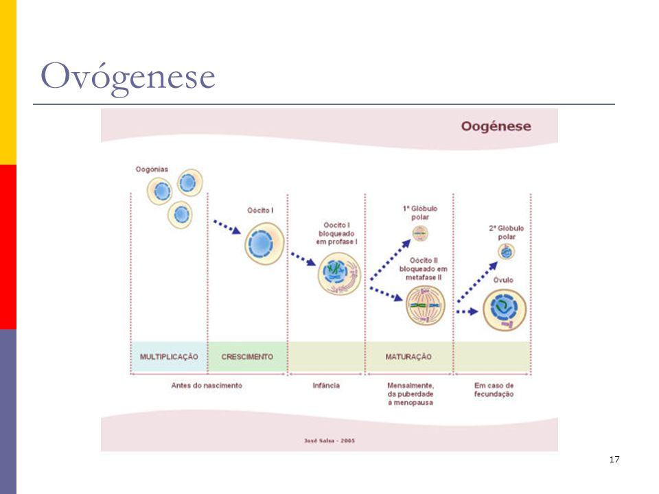 17 Ovógenese