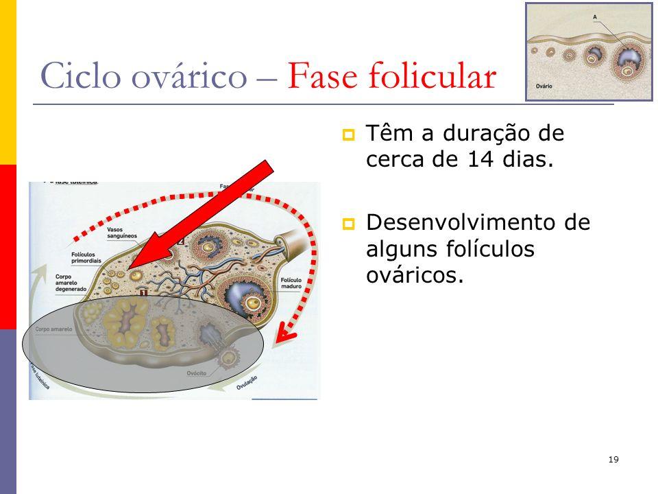 19 Ciclo ovárico – Fase folicular Têm a duração de cerca de 14 dias. Desenvolvimento de alguns folículos ováricos.