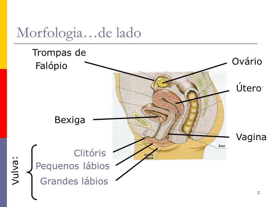 2 Morfologia…de lado Grandes lábios Clitóris Vagina Vulva: Útero Ovário Pequenos lábios Trompas de Falópio Bexiga